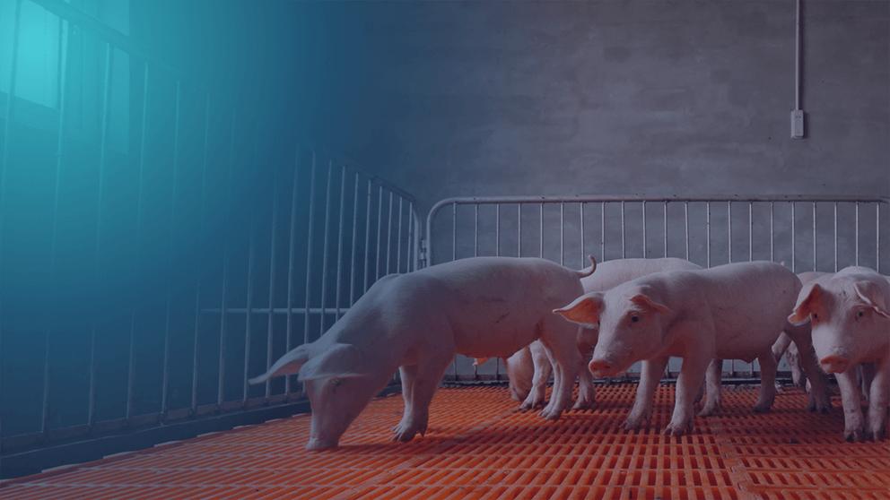 sweet pink pigs